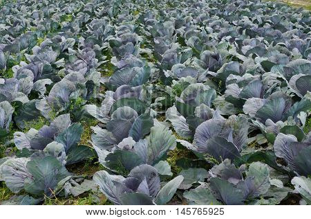 Large vegetable field with cabbage plants in summer