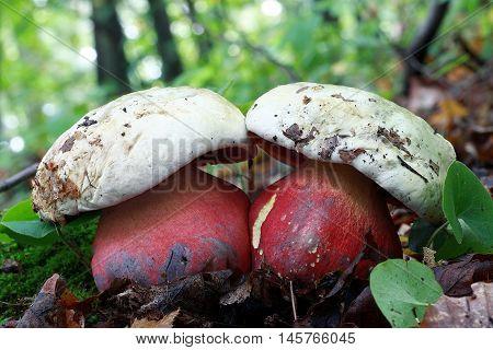 boletus satanas, fungi, mushroom, red, white, forest wild