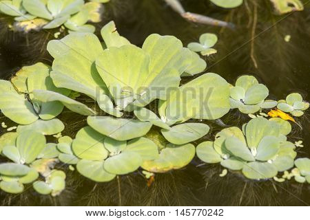 Mosquito fern or water fern close up