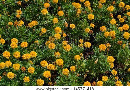 Flowerbed of marigold flowers (Tagetes erecta Mexican marigold Aztec marigold African marigold).
