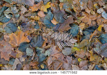 Wet fallen dark rotten leaves autumn background