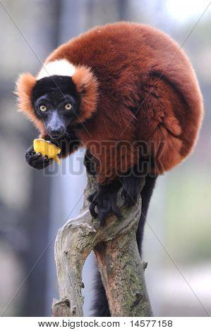 Zoo Animal Red ruffed lemurs
