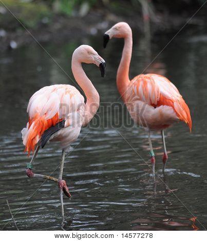 Animal de zoológico flamingo
