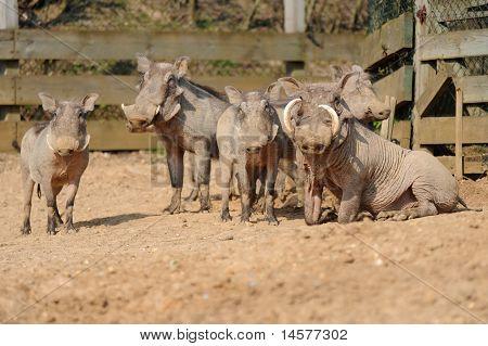Warthogs de animales de zoológico