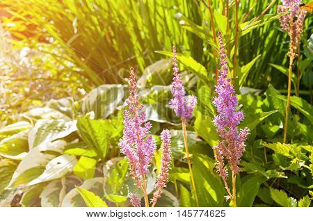 Astilbe chinensis pink flowers in the garden under sunlight. Closeup of Astilbe chinensis - herbaceous perennial flower. Also known as False Spirea Astilbe chinensis.