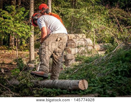 Quebec Canada - August 5 2016 : professional lumberjacks cutting trees with chainsaw