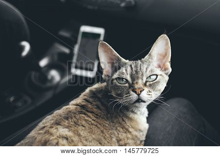 Cat is traveling in a car. Adorable devon rex cat is sitting on a lap and enjoying the road. Road tripping with your cat can be fun