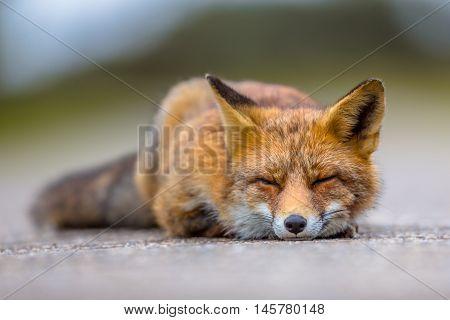 Sleeping European Red Fox