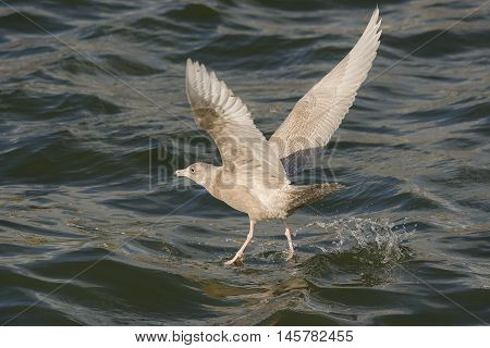 Glaucous Gull (Larus hyperboreus) juvenile take off from the surface