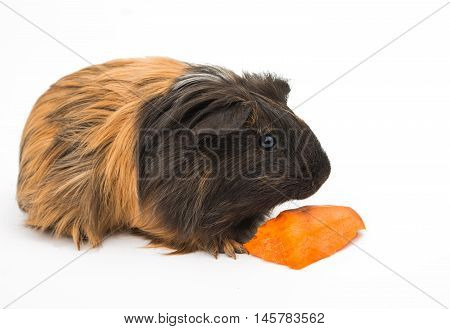 looking guinea pig on a white background