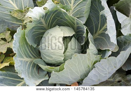 Cabbage green head in a field on a farm.Green collard growing in the garden.