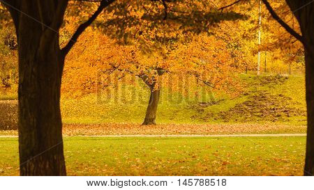 Nature outdoor scenery foliage concept. Tree during fall season. Park covered in golden autumnal leaves.