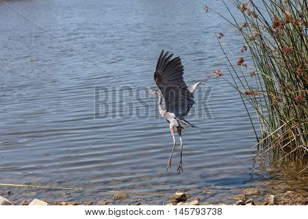 Great blue heron bird, Ardea herodias, in the wild, taking off to fly at a marsh in Bolsa Chica wetlands in Huntington Beach, California, United States