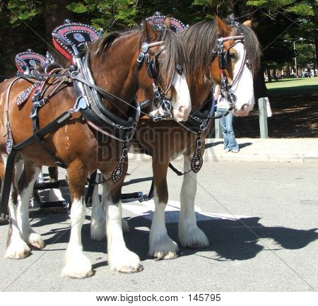 Animal - Clydesdale