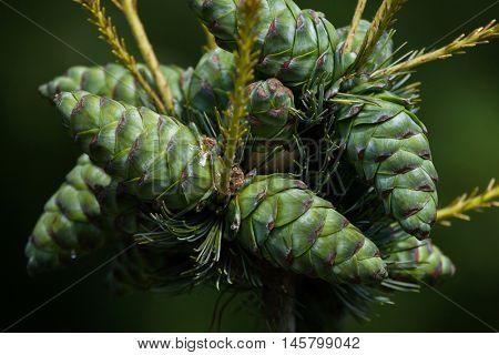 Common juniper (Juniperus communis). Conifer plant.