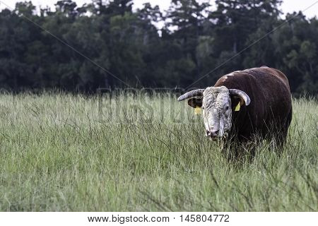 Horned Hereford bull covered in horn flies walking toward the camera through tall grass in a pasture