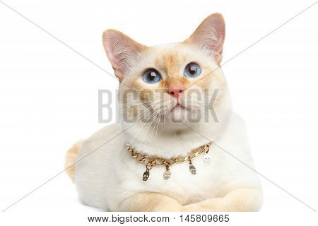 Close-up Beautiful Breed Mekong Bobtail Cat with Blue eyes and Chain, Lying on Isolated White Background, Color-point Fur