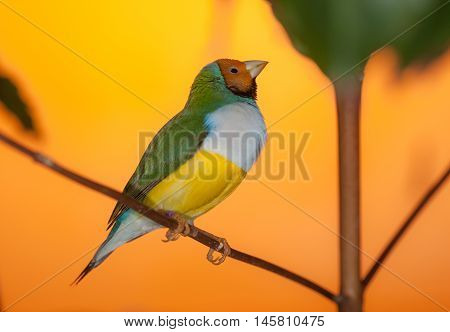 portrait of a tropical bird on a branch (Erythrura gouldiae)