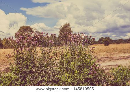 Thistle bushes surrounded by rural scene of grassland and forest in autumn, landscape, Poland