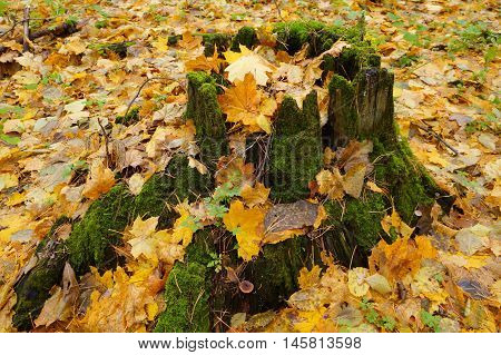 Mossy stump covered with yellow fallen leafs in autumn forrest