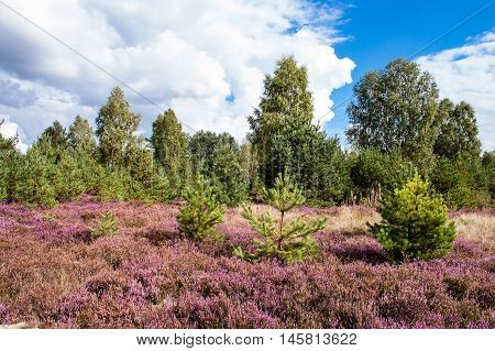 Beautiful heather blooming in the forest, autumn landscape, Poland