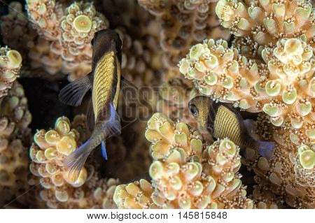 Small Fish On Corals House For Fishes Diving Indonesia