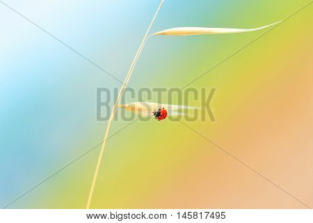 Ladybird sitting on the gold dry wheat stem on a bright sunny day, cute tiny red insect over colorful background, beautiful nature of countryside, autumn harvest season