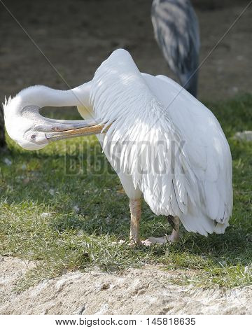 a pelican with a long beak near the pond