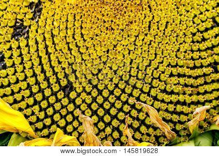 Yello Sunflower Macro