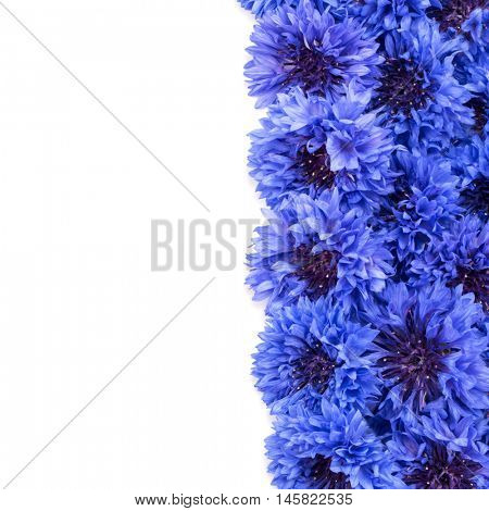 Blue Cornflower Herb or bachelor button flower heads border isolated on white background cutout