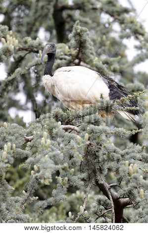 a sacred ibis nile remains perched on the branch of a tree