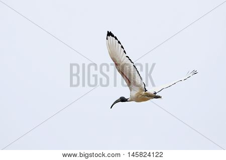 a big sacred ibis nile in flight