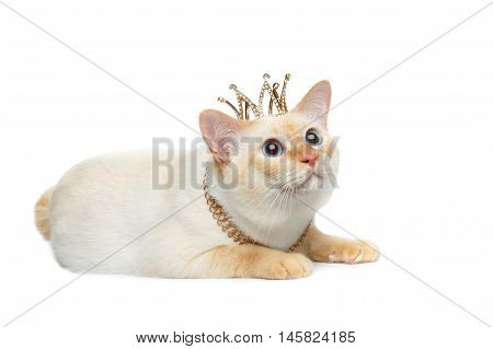 Beautiful Breed Mekong Bobtail Cat Blue eyed, Lying with Crown on Head, Looking up Isolated White Background, Color-point Fur