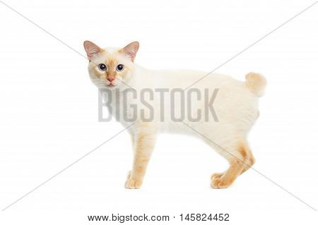 Funny Breed Mekong Bobtail Cat Blue eyed, Standing and Looking in Camera, Isolated White Background, Color-point Fur, without tail