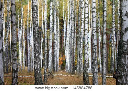 Grove of birch trees and dry grass in early autumn, yellow autumn birch forest