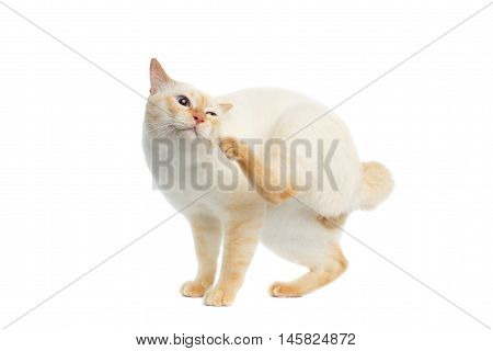Funny Breed Mekong Bobtail Cat Blue eyed, Standing and itches ear, Isolated White Background, Color-point Fur