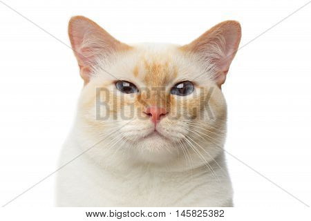 Close-up portrait of Funny Breed Mekong Bobtail Cat Blue eyed, happy face, Isolated White Background, Color-point Fur