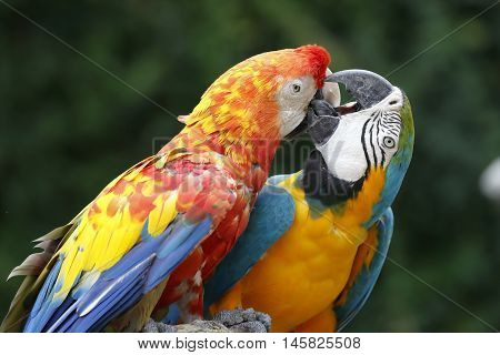 two macaw ara parrots fighting to stay on the branch