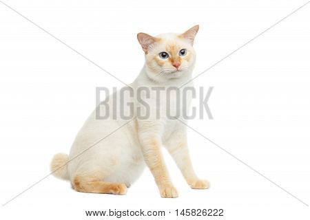 Beautiful Breed Mekong Bobtail Cat with Blue eyes Sitting and Curious Looking on Isolated White Background, Color-point Fur