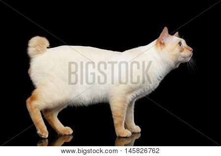 Curious Breed Mekong Bobtail Cat Blue eyed, Standing and Looking up, Isolated Black Background, Color-point Fur, without tail, Side view