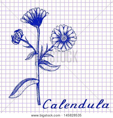 Calendula. Botanical drawing on exercise book background. Vector illustration. Medical herbs