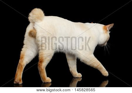 Curious Breed Mekong Bobtail Cat Blue eyed, Walking, Isolated Black Background, Color-point Fur, without tail, Back view