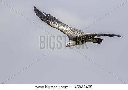 Rüppell's griffon vulture (Gyps rueppellii) in flight against plain sky providing copy space.