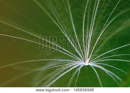 dandelion fuzz close up. macro background shoot