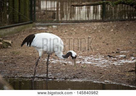 Heron White reaching for food long beak