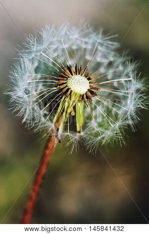 white dandelion dandelion seeds close-up green background