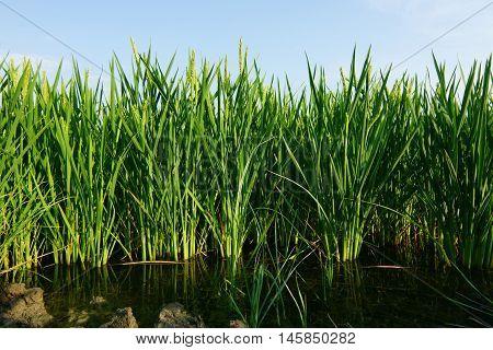 Rice paddy plants on water field plantation