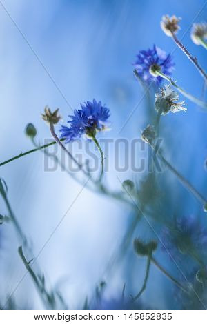 Flowers of wild chicory on a background of the sky