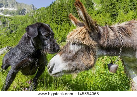 Dog kissing his donkey friend on forehead. Love story. Multicultural friendship stories.