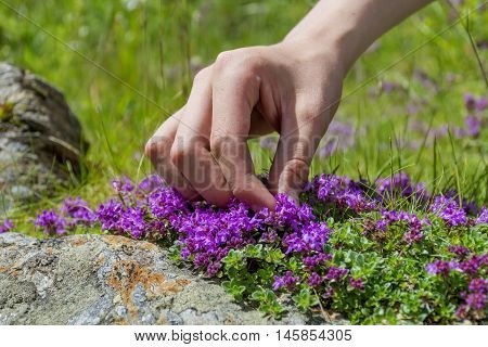 A hand harvesting Wild Thyme. The thyme polytrichus is commonly used in cookery and in herbal medicine.